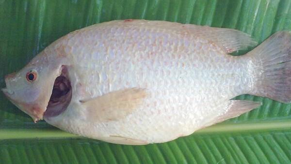 cách hấp cá - Khử mùi tanh của cá bằng giấm gạo và muối