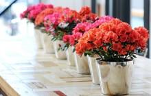 5 loại cây cảnh độc tuyệt đối không trồng trong nhà