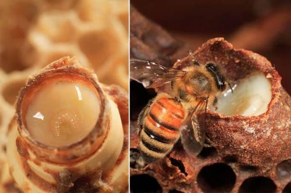 sữa ong chúa - Chất dinh dưỡng đặc biệt từ thiên nhiên