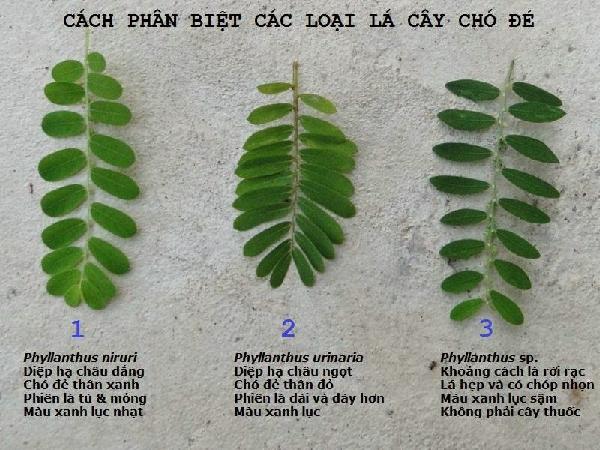 Cây được phân biệt bởi các kiểu lá khác nhau - diep ha chau