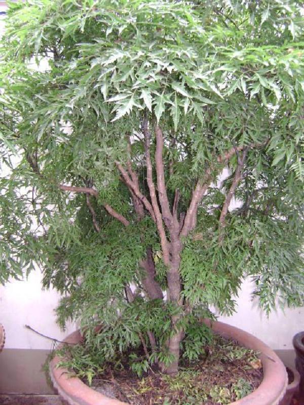 Cây có chiều cao từ 0,8 - 1,5m - tác dụng của cây đinh lăng