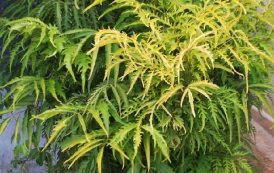 Cây đinh lăng và những tác dụng của cây đinh lăng