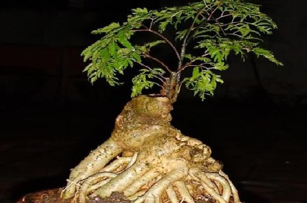 Thân, rễ và củ đinh lăng - tác dụng của cây đinh lăng