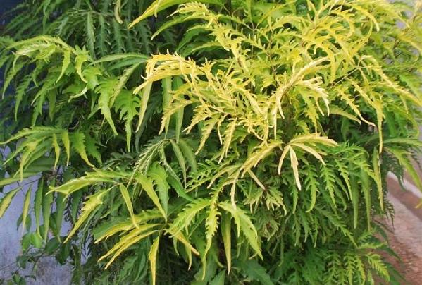 Cây đinh lăng và những tác dụng của cây đinh lăng - tac dung cay dinh lang