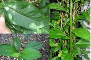 Cây mật gấu – bài thuốc quý từ thiên nhiên