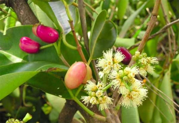 Hoa vối và nụ vối - Xua tan nỗi lo Gout và tiểu đường