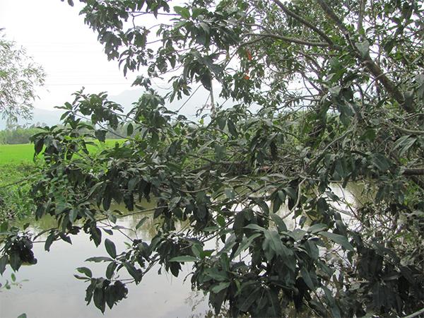 Cây vối rất dễ trồng ở bờ ao, bờ rào nơi thôn quê - Cây vối