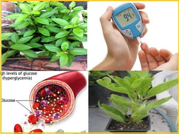 Cây lá đắng có tác dụng hỗ trợ và điều trị tiểu đường - tác dụng của cây lá đắng