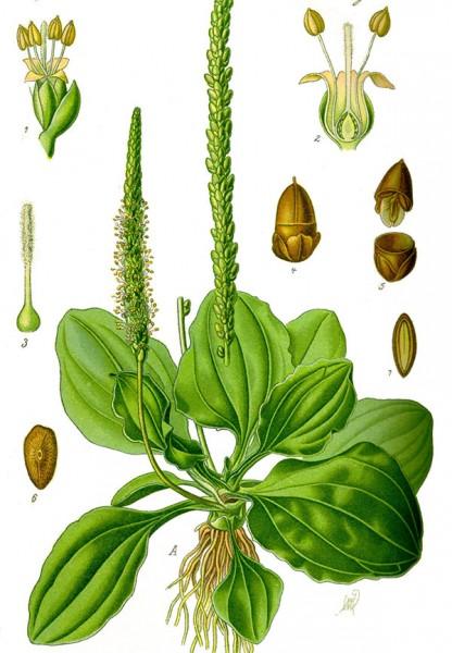 Cây mã đề - cây thuốc quý trong vườn nhà - cay ma de
