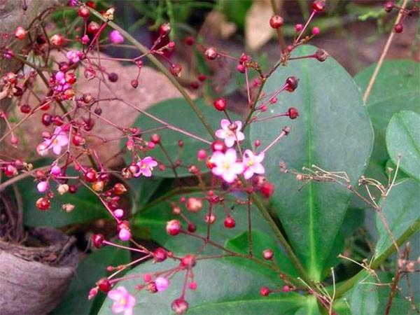 Hoa của cây sâm đất - cay sam dat