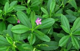 Cây sâm đất – thảo dược quý cho sức khoẻ cả nhà