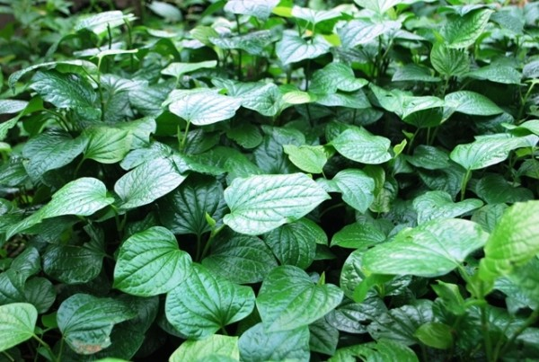 Cây lá lốt - tác dụng của lá lốt chữa bệnh gì