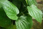 Lá lốt – thảo dược quý từ thiên nhiên