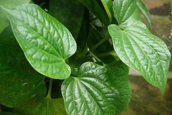 Lá lốt là loài cây quen thuộc – thảo dược quý từ thiên nhiên - cong dung cua la lot