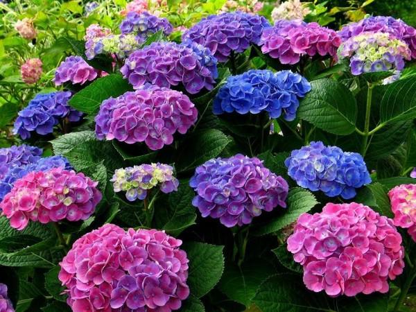 Hoa cẩm tú cầu cổ điển - cách cắm hoa để bàn đẹp