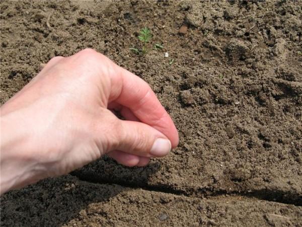 Gieo hạt - kỹ thuật trồng rau cải