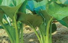 Cách trồng rau cải sạch, ngon, nhanh được thu hoạch