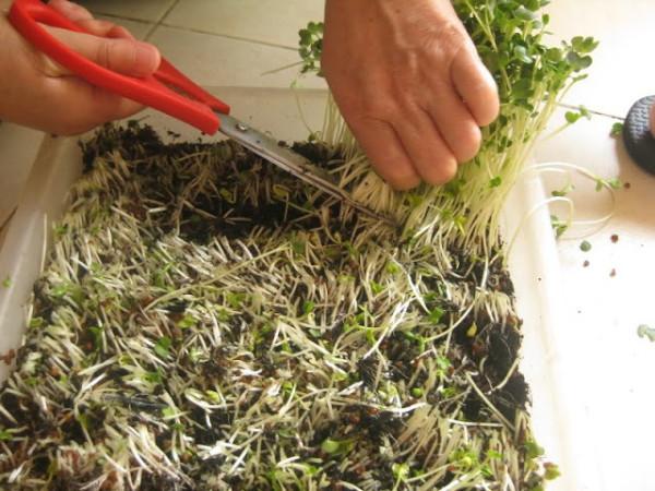 Thu hoạch rau mầm - trong rau mam