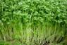 Cách trồng rau mầm ngon sạch, an toàn tại nhà