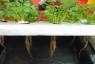 Cách trồng rau thuỷ canh hiệu quả, đơn giản tại nhà