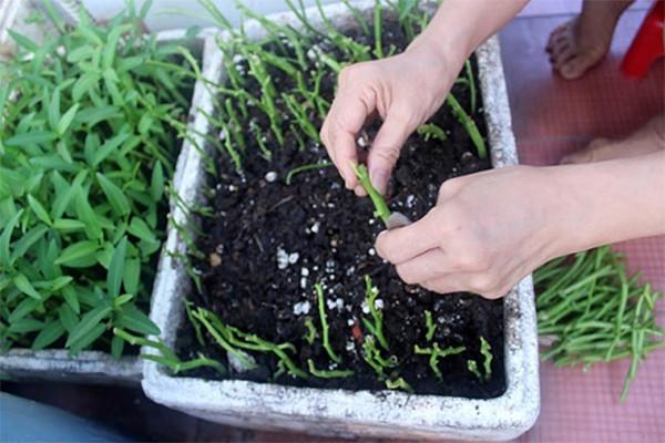 Giâm cành rau muống - trồng rau muống