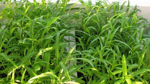 Rau muống trồng trong thùng xốp - kỹ thuật trồng rau muống