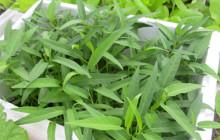 2 Cách trồng rau muống xanh non, ít sâu bệnh
