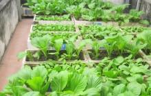 Cách trồng rau trong thùng xốp ăn hoài không hết