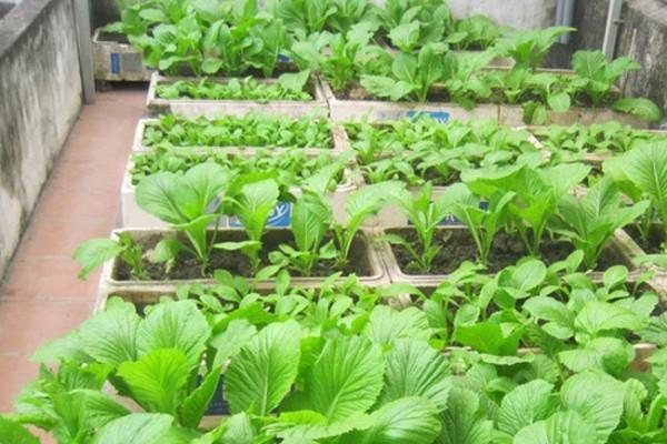 Chăm sóc rau - trồng rau sạch tại nhà