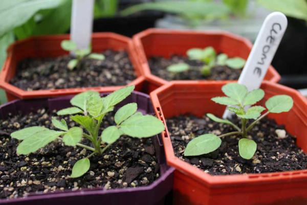 Gieo cây giống - cách trồng hoa hồng leo trong chậu