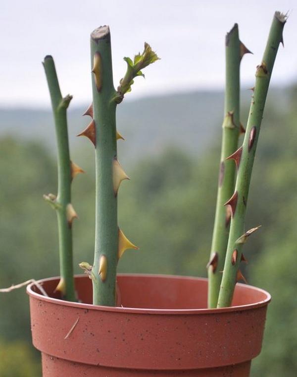 Giâm cành hoa hồng - cách trồng hoa hồng bằng cành