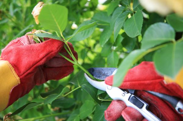 Tỉa bỏ cành hư, lá úa - kỹ thuật trồng hoa hồng