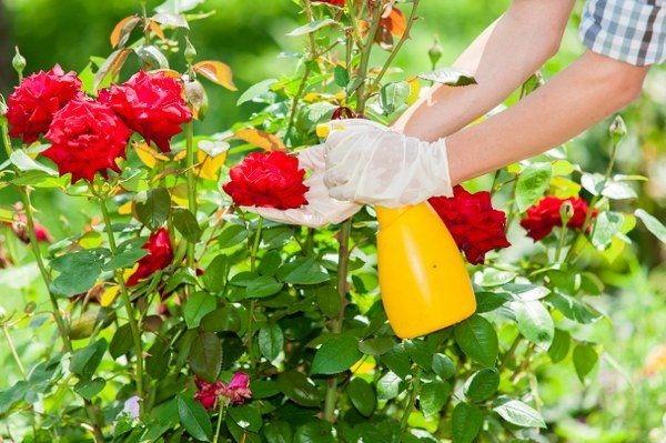 Tưới nước, chăm sóc cây - cach trong hoa hong