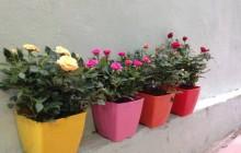 Cách trồng hoa hồng trong vườn nhà cho nhiều bông