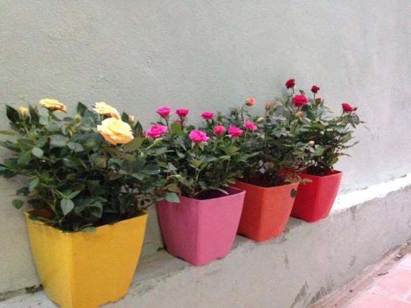 Cách trồng hoa hồng trong vườn nhà cho nhiều bông - cach trong hoa hong