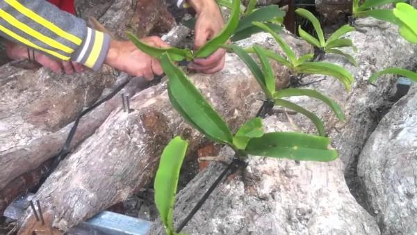 Trồng lan trên miếng gỗ - cach trong hoa lan