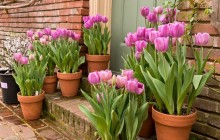 Cách trồng hoa tulip bằng củ nở trong một tháng