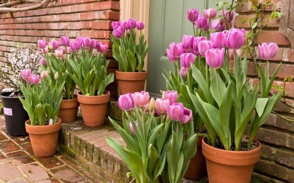 Cách trồng hoa tulip bằng củ nở trong một tháng - cach trong hoa tulip