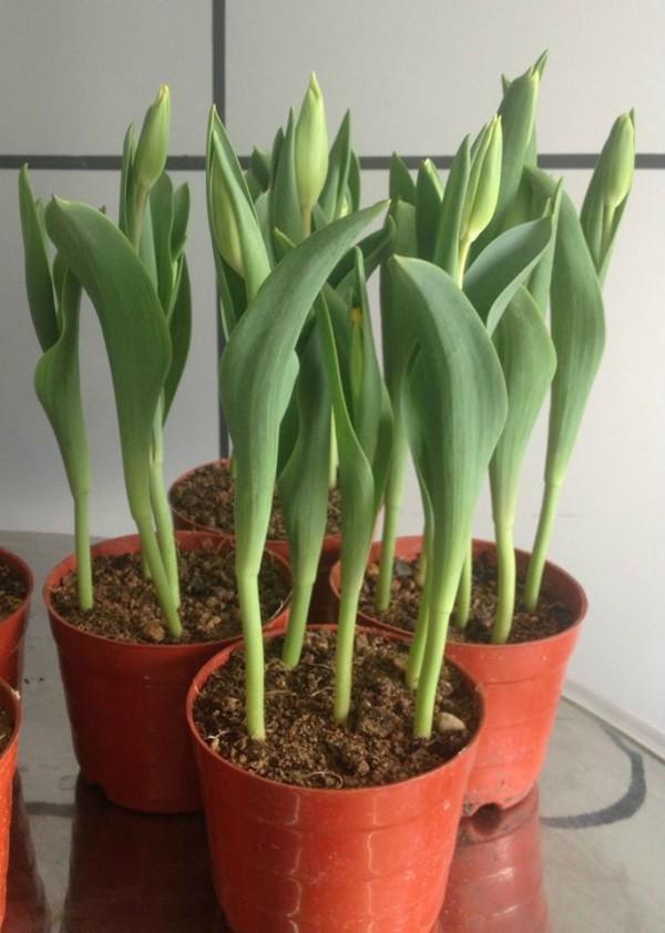 Chăm sóc cho cây hoa phát triển - cách trồng hoa tulip
