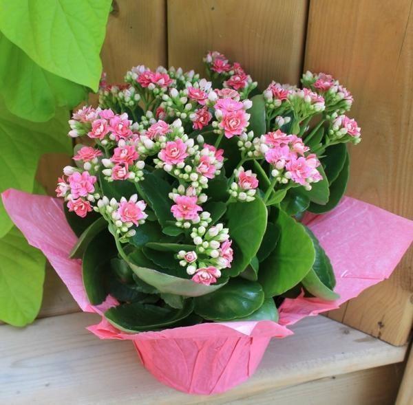 Hoa Sống Đời - hoa trang trí tết với biểu trưng cho sự suôn sẻ, thuận lợi