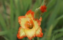 Những loài hoa trang trí Tết mang lại nhiều may mắn, tài lộc