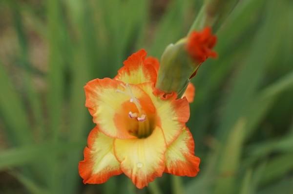 Hoa Lay ơn – Hình tượng của lòng tôn kính, biết ơn
