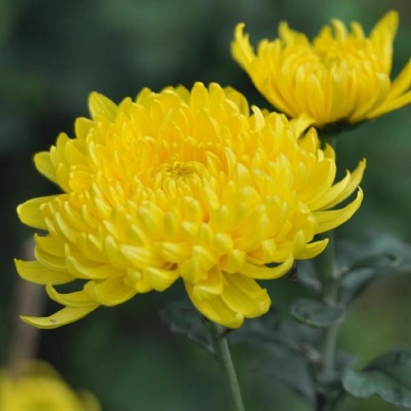 Hoa cúc – Biểu tượng của sự trường thọ