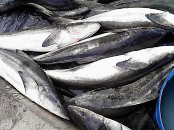 Cá bớp tươi - cách nấu lẩu cá bóp măng chua